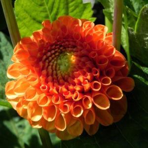 Pompon Dahlie gefuellt Bluete orange Dahlia x hortensis 05