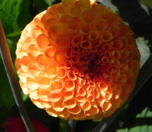 Pompon Dahlie gefuellt Bluete orange Dahlia x hortensis 07