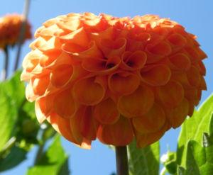Pompon Dahlie gefuellt Bluete orange Dahlia x hortensis 19