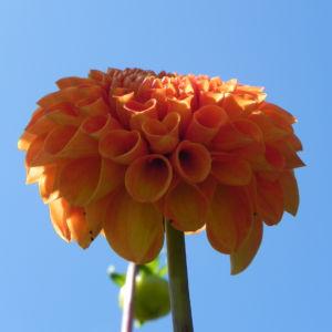 Pompon Dahlie gefuellt Bluete orange Dahlia x hortensis 22