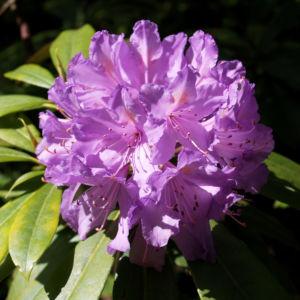 Pontische Alpenrose Bluete pink Rhododendron ponticum 01