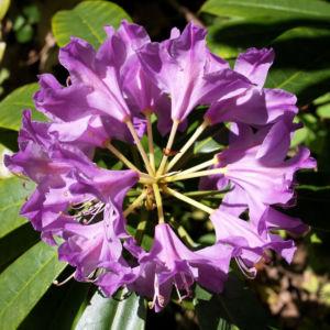 Pontische Alpenrose Bluete pink Rhododendron ponticum 02