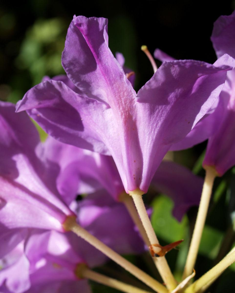 Pontische Alpenrose Bluete pink Rhododendron ponticum