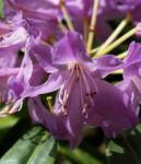 Pontische Alpenrose Bluete pink Rhododendron ponticum 08