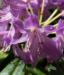 Zurück zum kompletten Bilderset Pontische-Alpenrose Blüte pink Rhododendron ponticum