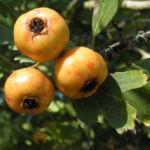 Pontischer Weissdorn Frucht ocker Crataegus pontica 02