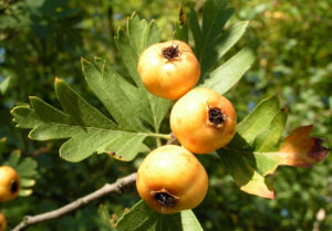 Pontischer Weissdorn Frucht ocker Crataegus pontica 03