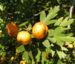 Zurück zum kompletten Bilderset Pontischer Weissdorn Frucht ocker Crataegus pontica
