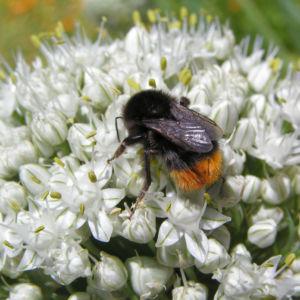 Porree Lauch Bluete weiss mit Hummeln Allium porrum 03