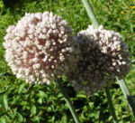 Porree Lauch Bluete weiss mit Hummeln Allium porrum 04