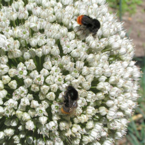 Porree Lauch Bluete weiss mit Hummeln Allium porrum 08