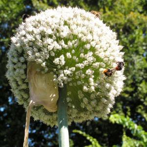 Porree Lauch Bluete weiss mit Hummeln Allium porrum 09