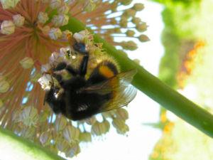 Porree Lauch Bluete weiss mit Hummeln Allium porrum 14