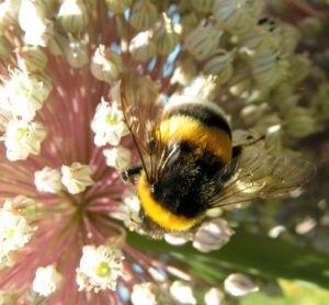 Bild: Porree Lauch Bluete weiss mit Hummeln Allium porrum