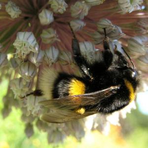 Porree Lauch Bluete weiss mit Hummeln Allium porrum 17