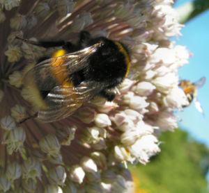 Porree Lauch Bluete weiss mit Hummeln Allium porrum 18