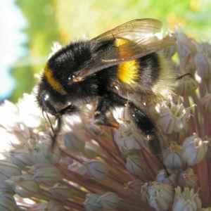 Porree Lauch Bluete weiss mit Hummeln Allium porrum 19