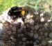 Zurück zum kompletten Bilderset Porree Lauch Blüte weiß mit Hummeln - Allium porrum