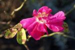 Portlandrose Bluete pink Rosa rosa 01
