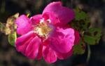 Portlandrose Bluete pink Rosa rosa 05