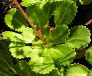 Porzellanblümchen Blatt grün Saxifraga umbrosa 02