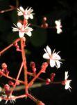 Porzellanblümchen Blüte weiß pink Saxifraga umbrosa 03