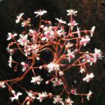 Porzellanblümchen Blüte weiß pink Saxifraga umbrosa 08