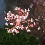 Porzellanblümchen Blüte weiß pink Saxifraga umbrosa 09
