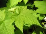 Pracht Himbeere Blatt gruen Rubus parviflorus 01