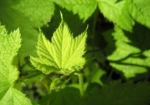 Pracht Himbeere Blatt gruen Rubus parviflorus 02