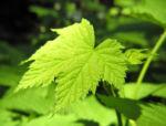 Pracht Himbeere Blatt gruen Rubus parviflorus 03