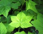 Pracht Himbeere Blatt gruen Rubus parviflorus 04