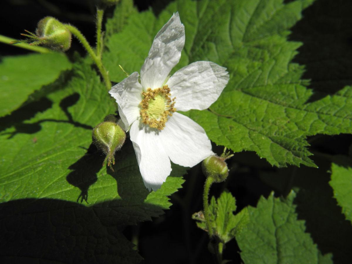 Pracht Himbeere Bluete weiß Rubus parviflorus