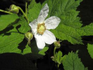 Pracht Himbeere Bluete weiß Rubus parviflorus 01