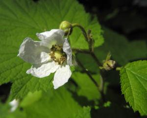 Pracht Himbeere Bluete weiß Rubus parviflorus 06