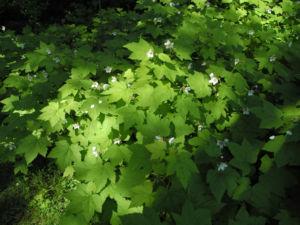 Pracht Himbeere Staude Rubus parviflorus 01