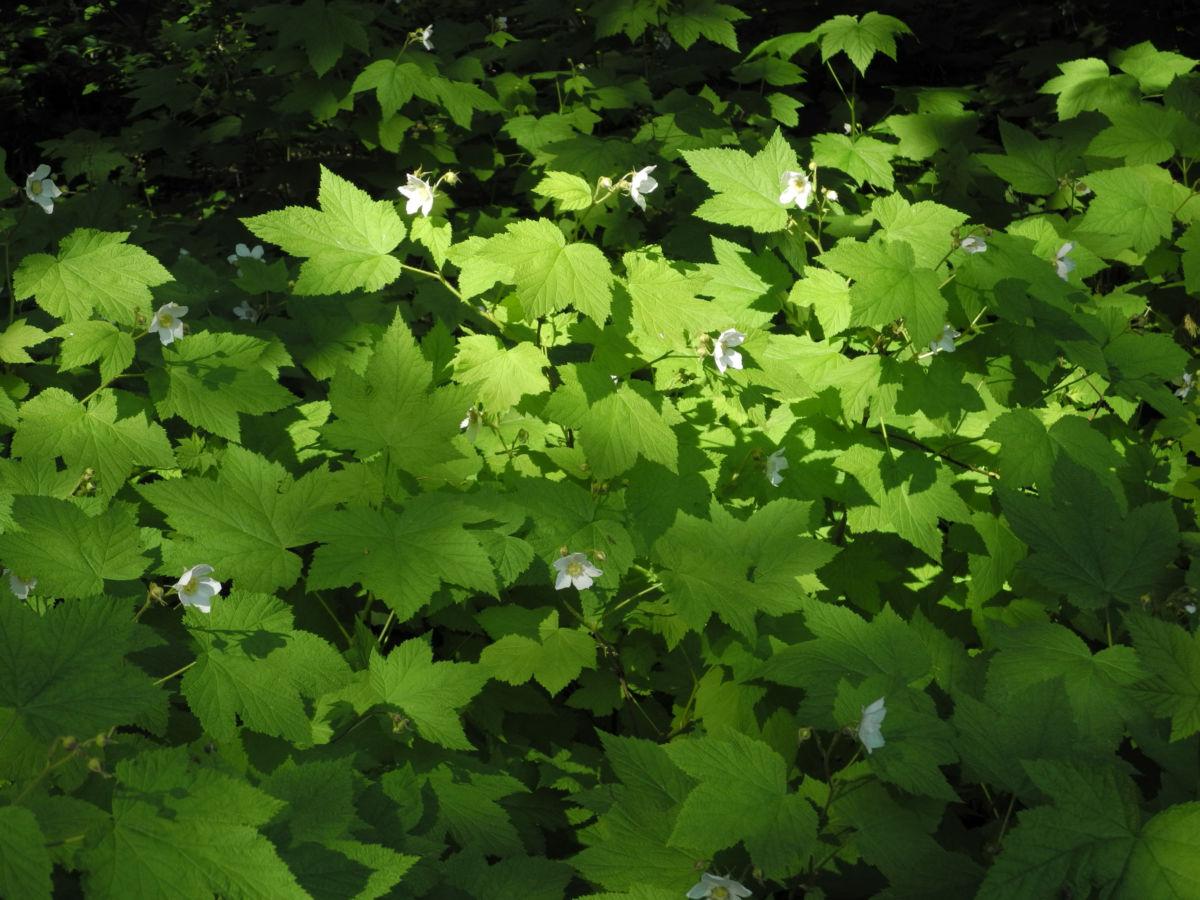 Pracht Himbeere Staude Rubus parviflorus