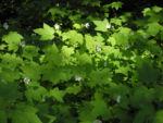 Pracht Himbeere Staude Rubus parviflorus 02