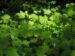 Zurück zum kompletten Bilderset Weiße Zimt-Himbeere Rubus parviflorus