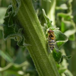 Pracht Koenigskerze Blatt gruen Verbascum speciosum 10