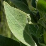 Pracht Koenigskerze Blatt gruen Verbascum speciosum 12