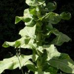 Pracht Koenigskerze Blatt gruen Verbascum speciosum 13