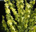 Pracht Koenigskerze Bluete gelb Verbascum speciosum 01
