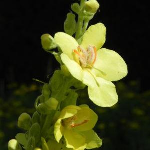 Pracht Koenigskerze Bluete gelb Verbascum speciosum 03