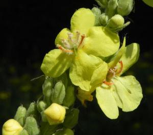 Pracht Koenigskerze Bluete gelb Verbascum speciosum 04