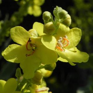 Pracht Koenigskerze Bluete gelb Verbascum speciosum 09