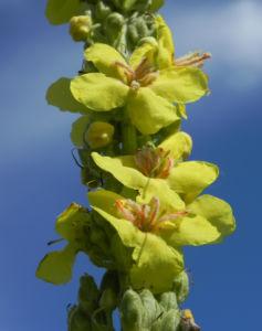 Pracht Koenigskerze Bluete gelb Verbascum speciosum 14