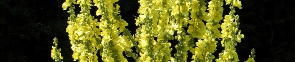 pracht-koenigskerze-blatt-gruen-bluete-gelb-verbascum-speciosum