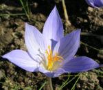 Pracht Krokus Bluete hellblau Crocus speciosus 02