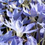 Pracht Krokus Bluete hellblau Crocus speciosus 03